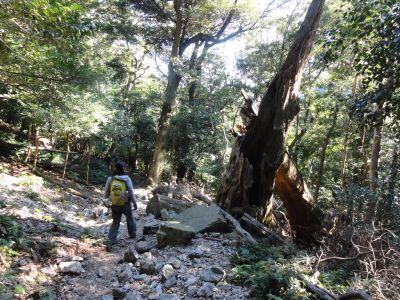 シイの巨木