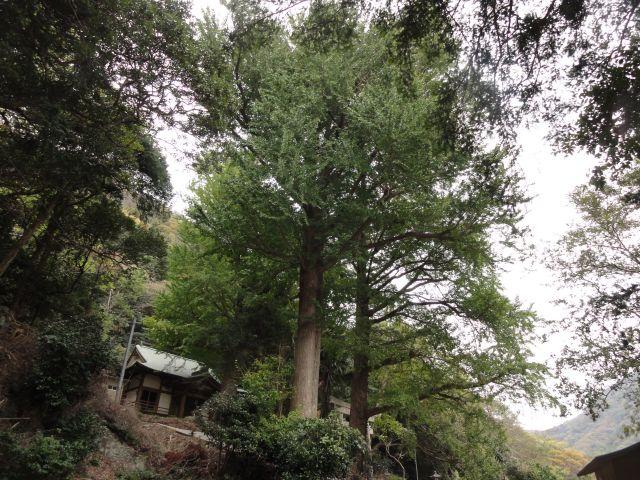 雷命神社のイチョウ1