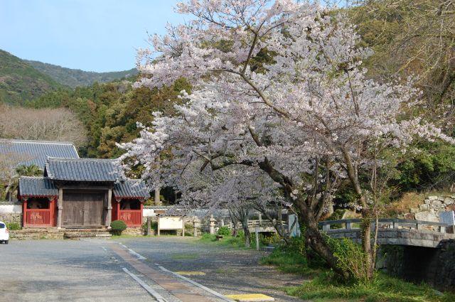万松院の桜